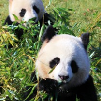 Beauval zoo panda